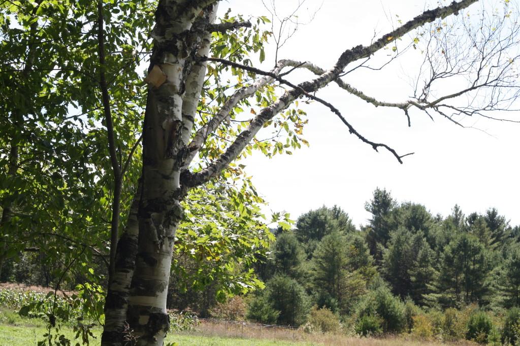 VT trees